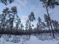 2019 sausis. Baltas miškas